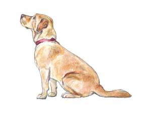 Yellow Labrador, watercolour illustration