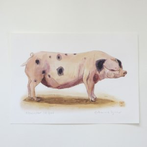 Gloucester Old Spot pig print, pig art