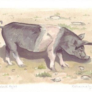 saddleback piglet, piglet fine art print, pig