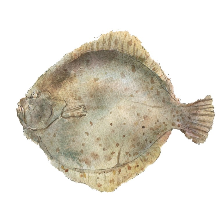 Watercolour and ink illustration of a Turbot