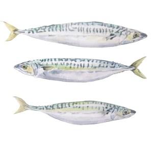 Mackerel watercolour illustration