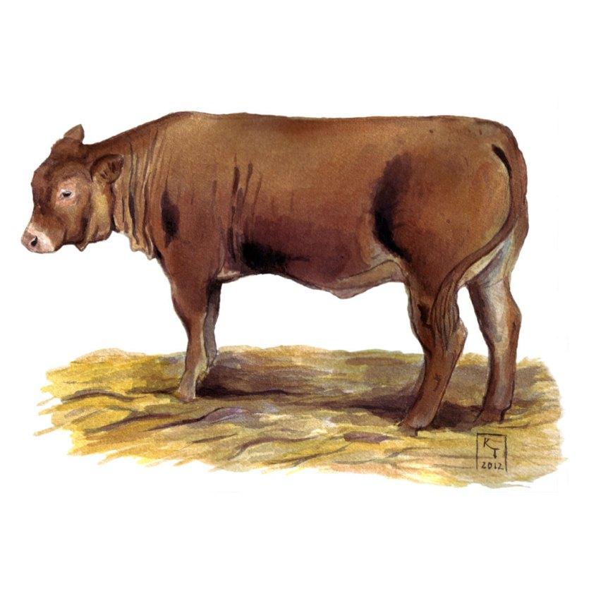 cattle illustration