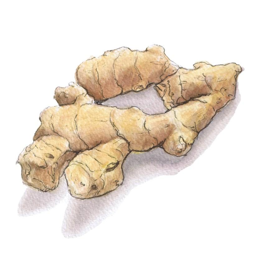 ginger watercolour illustration