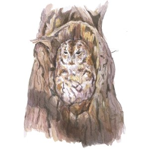 tawny owl watercolour illustration