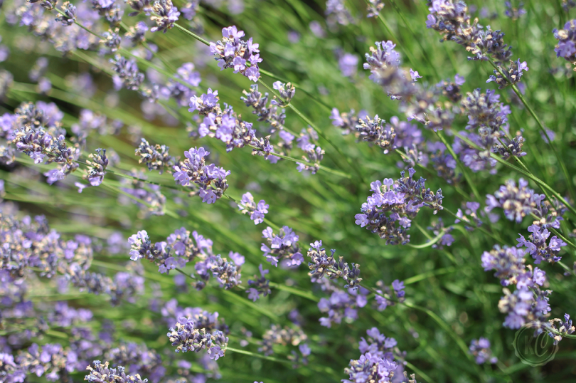 Lavendel Wallpaper August Freebie