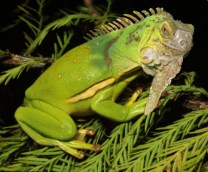 iguana-frog-copy