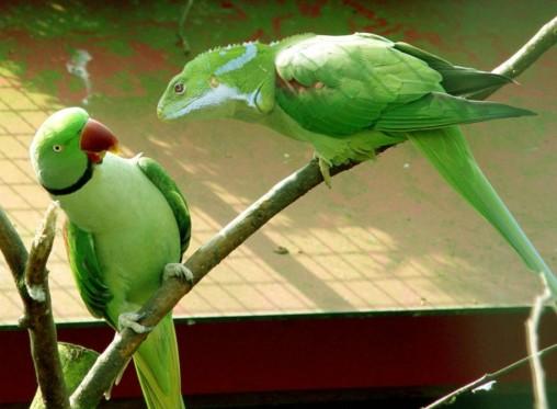 parakeet-lizard-copy
