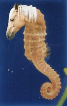sea-horse-copy