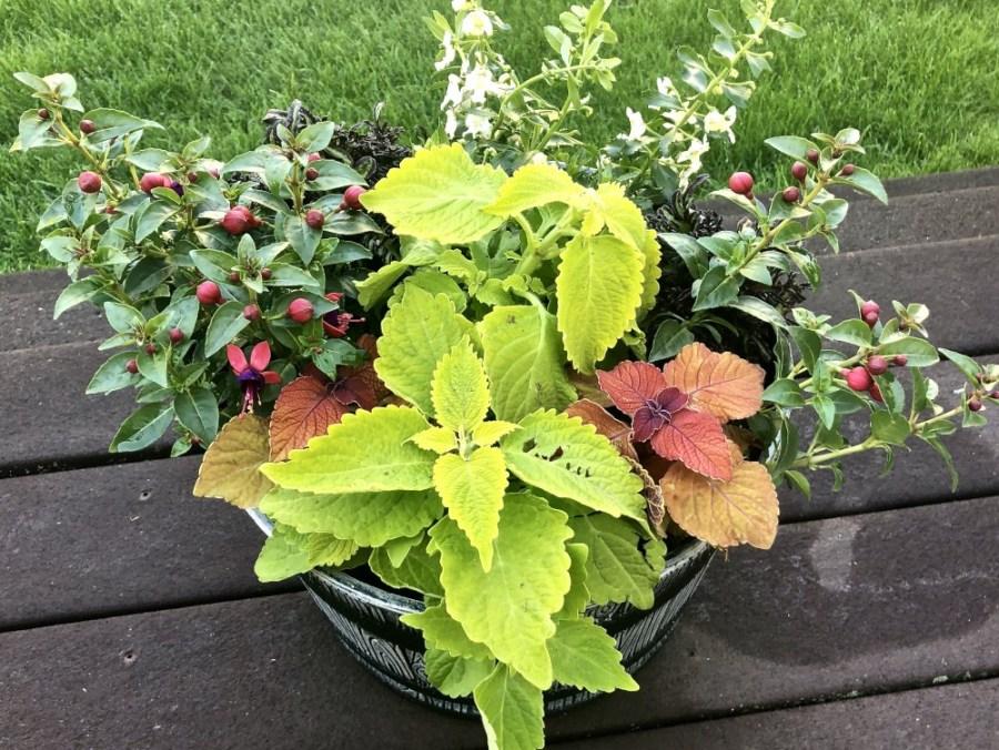 Flowering planter featuring different varieties of coleus.