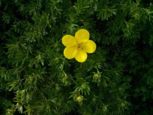 A green bush with a single yellow flower.
