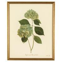 French Hydrangea Macrophylla Print Botanical Framed Wall ...
