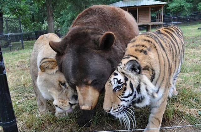 lion-tiger-and-bear-bffs-1