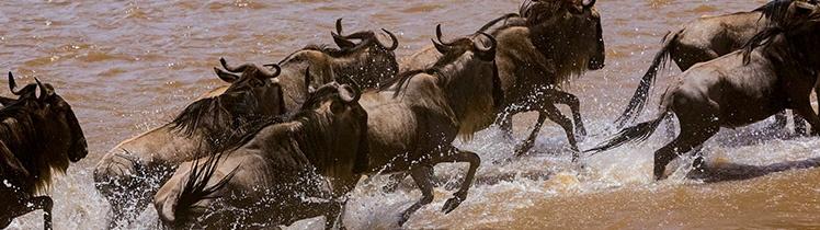 Wildebeest atempting to cross Mara River