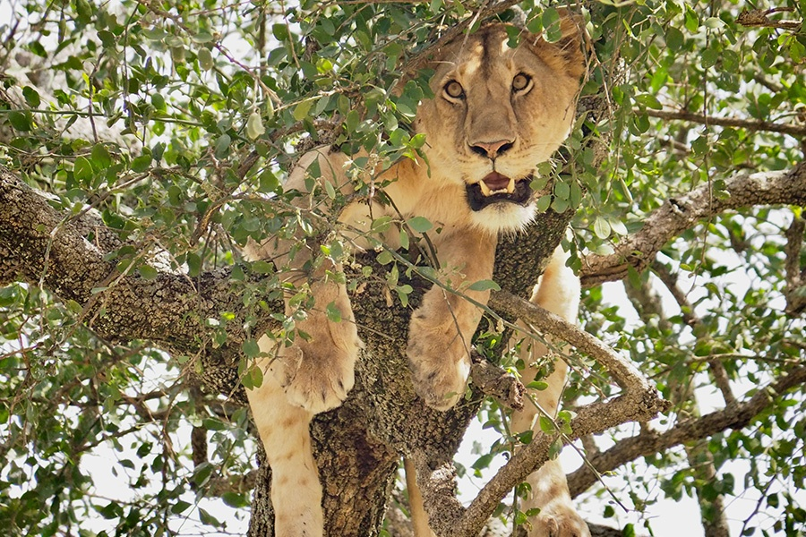 Lion on the Tree in Serengeti