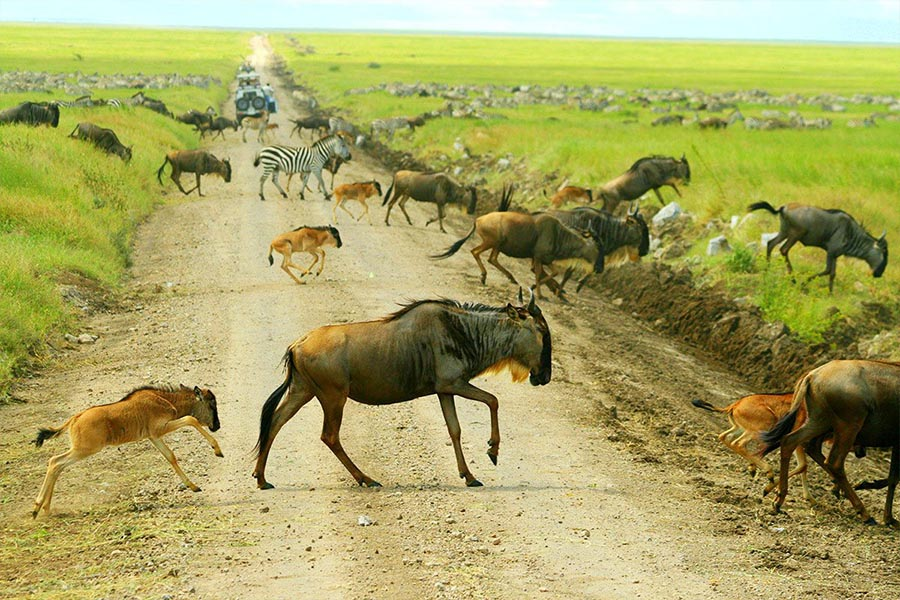 ndutu-migration-safari-Dec