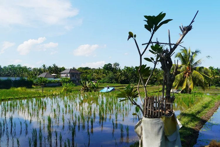 Image of water filled rice paddies in Bali