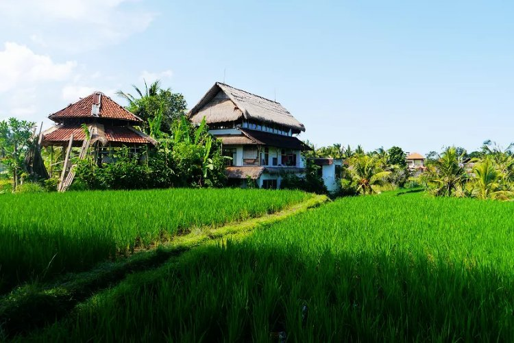 Image of long green grass in rice fields in Bali