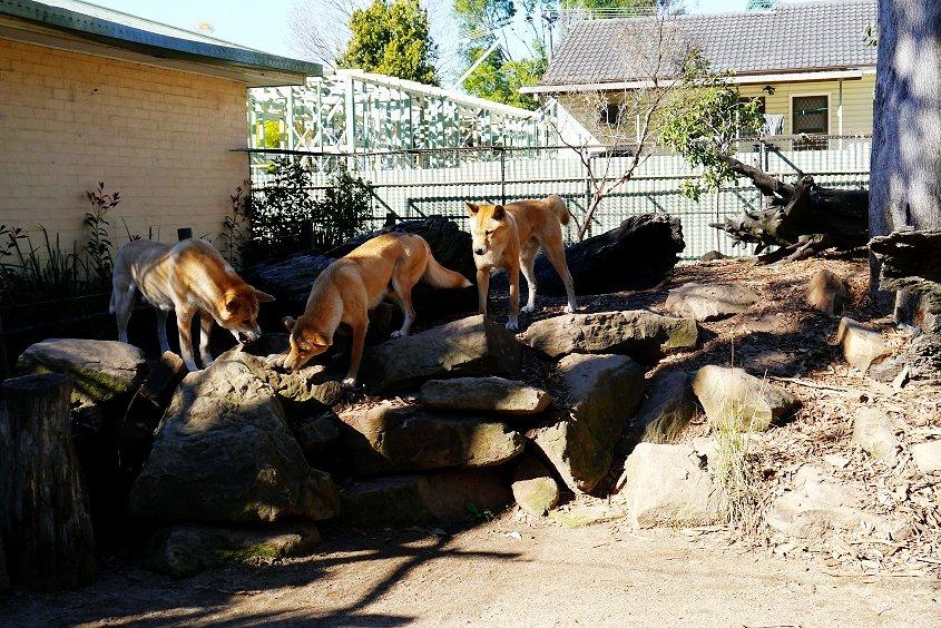 dingo australian wildlife
