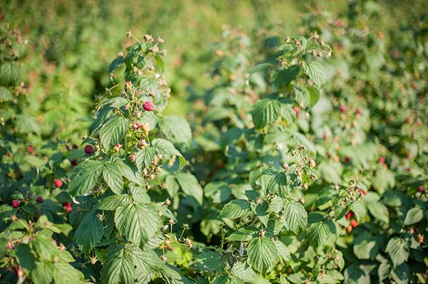 Pure Michigan_Kat Ku_Makielski Berry Farm_06