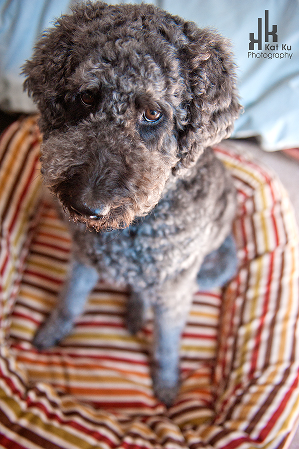 Ellie-the-Gray-Labradoodle_24