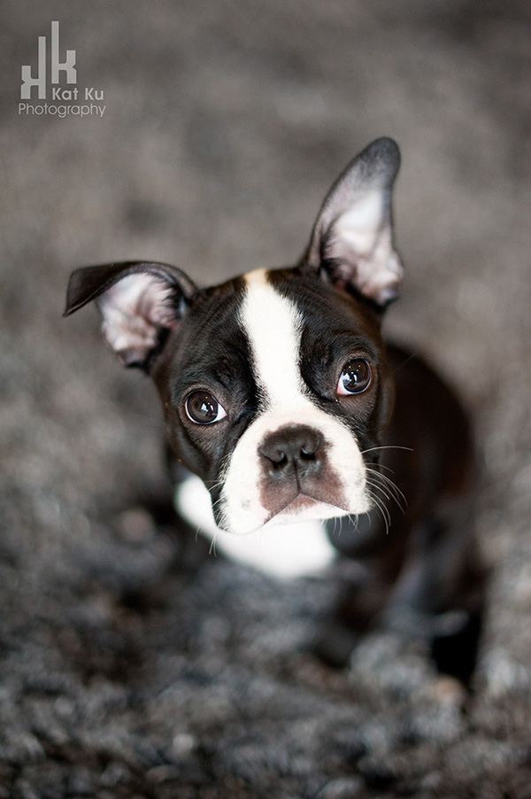 Kat-Ku-Photography_Boston-Terrier-Puppy01