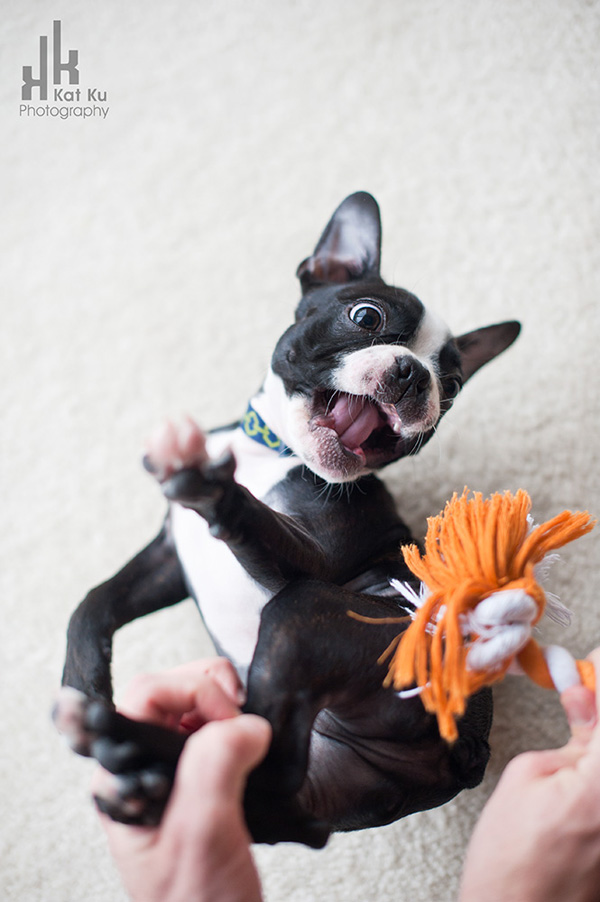 Kat-Ku-Photography_Boston-Terrier-Puppy10