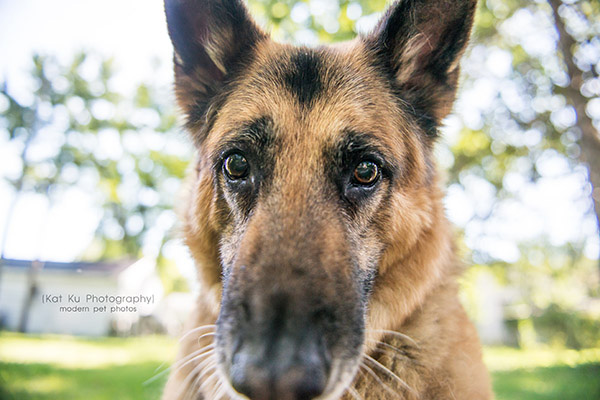 Mythos the German Shepherd_01