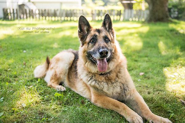 Mythos the German Shepherd_10