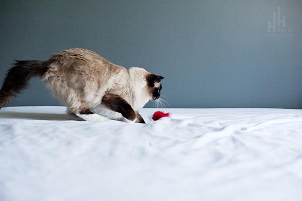 Kat-Ku-Photography_Achilles_Ragdoll-Cat_03