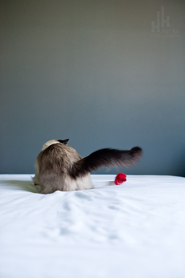 Kat-Ku-Photography_Achilles_Ragdoll-Cat_05