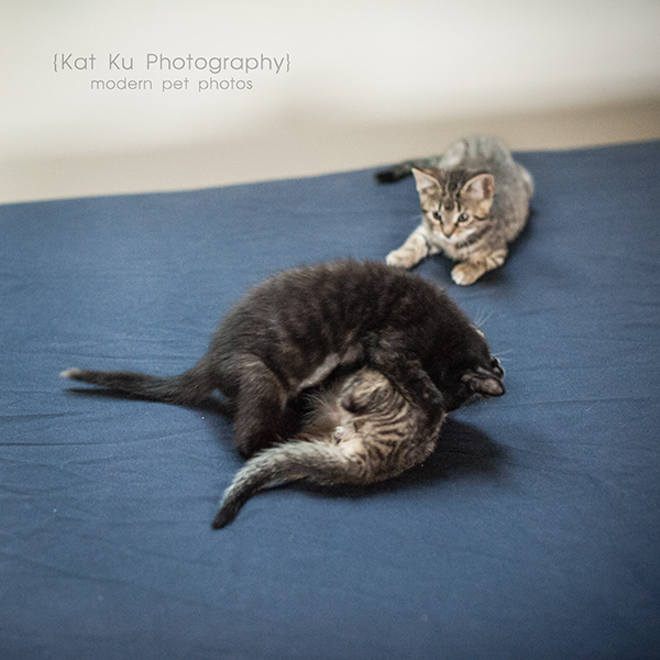 Adoptable Kittens_18