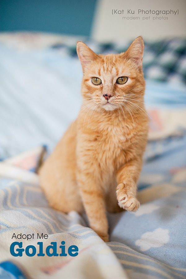 Kat Ku Photography_Adopt Goldie the Orange Cat_02