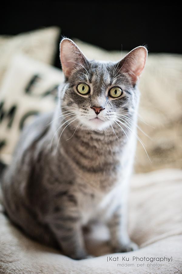 Kat Ku Photography_Dorian the Gray Cat12
