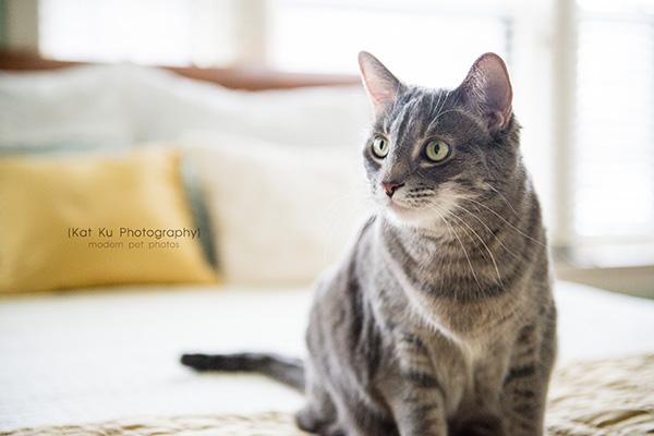 Kat Ku Photography_Dorian the Gray Cat13