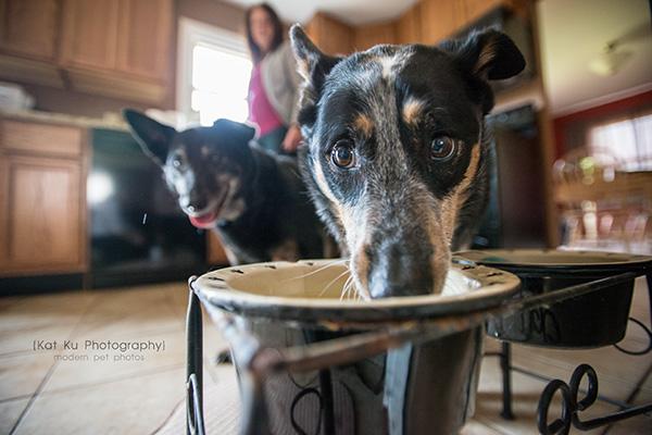 Kat Ku Photography - Paige the Cattle Dog
