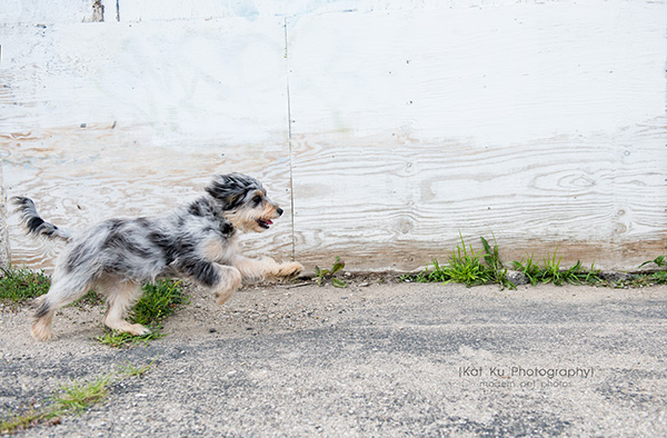 The Streets Session_Wrigley the AussieDoodle_11