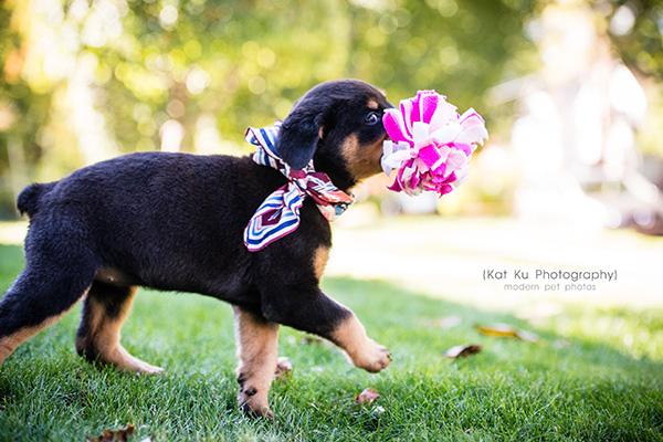 Kat Ku_Gia Rottweiler Puppy_11