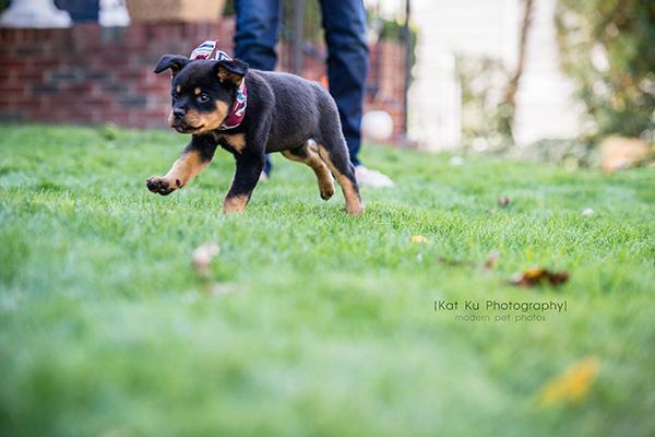 Kat Ku_Gia Rottweiler Puppy_14