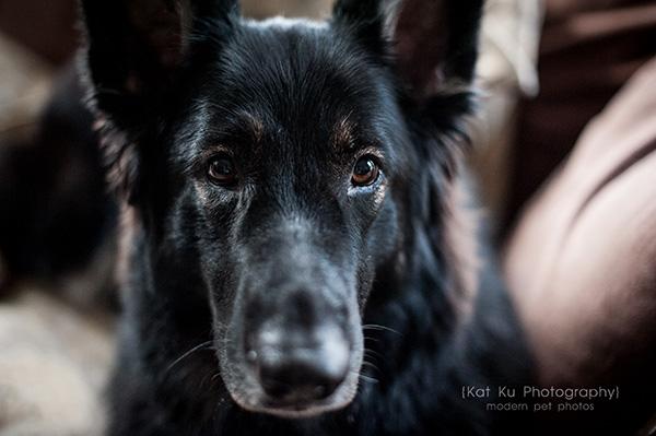 Kat Ku_Royal Oak_Shiloh Shepherds_Pug_06