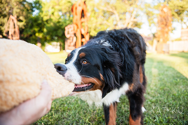 Kat Ku_Bernese Mountain Dog_Detroit Pet Photography_15