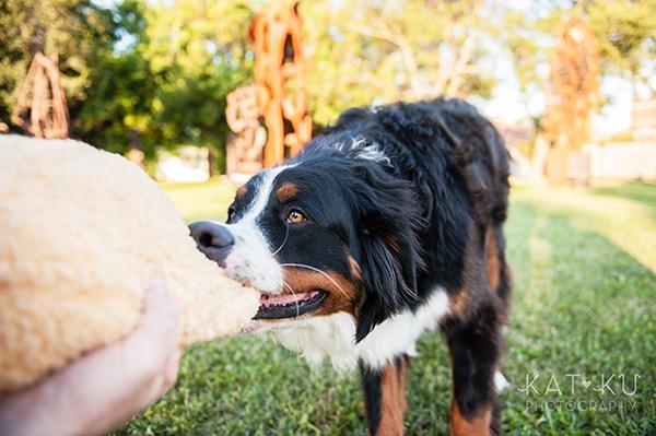 Kat Ku_Bernese Mountain Dog_Detroit Pet Photography_15