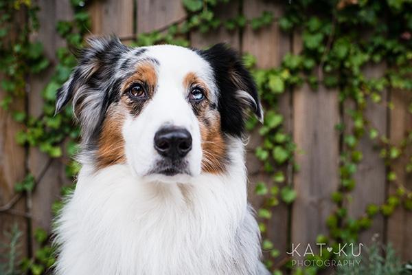 Kat Ku Photography - Ivan Australian Shepherd Royal Oak Michigan_17