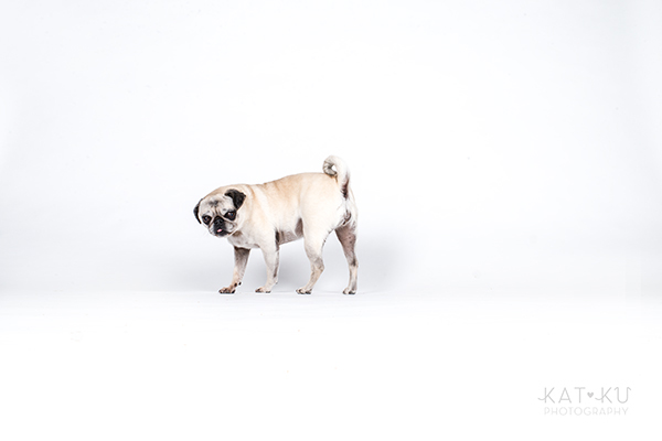Kat Ku Photography - Cosmo Rah Frenchie Pug_05