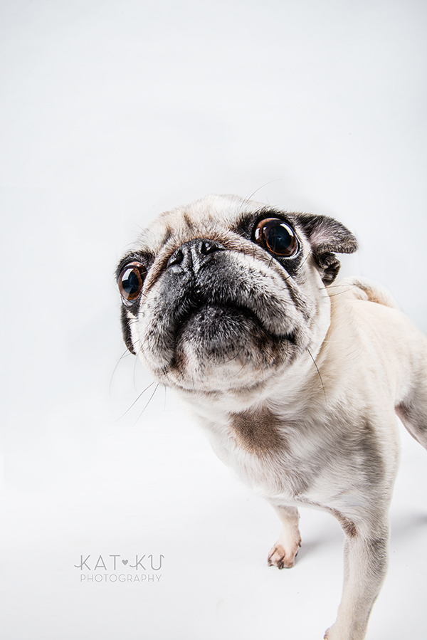 Kat Ku Photography - Cosmo Rah Frenchie Pug_06