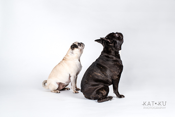 Kat Ku Photography - Cosmo Rah Frenchie Pug_12