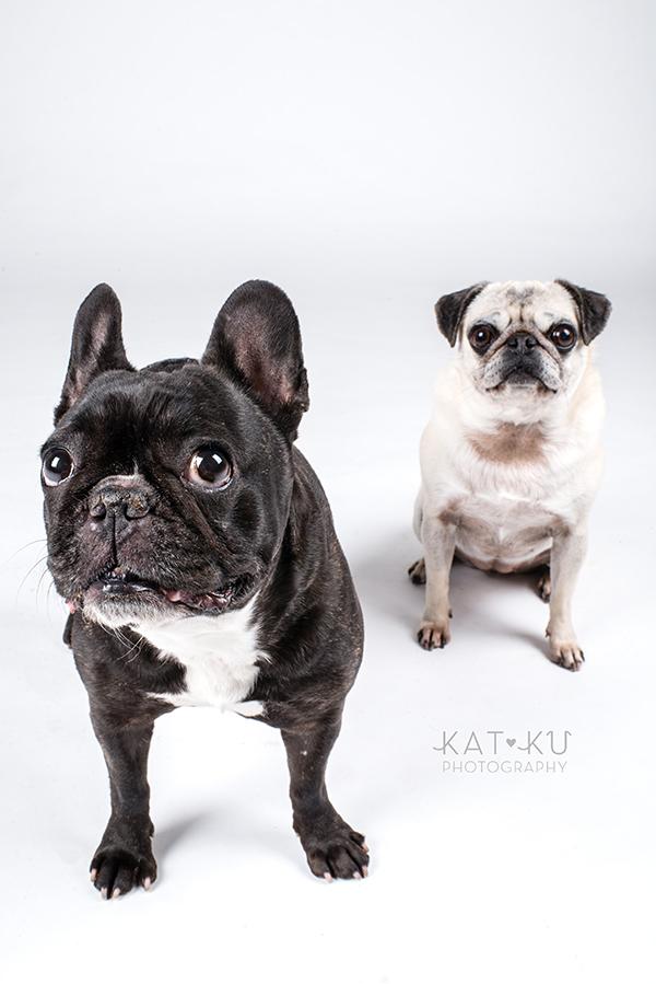 Kat Ku Photography - Cosmo Rah Frenchie Pug_14