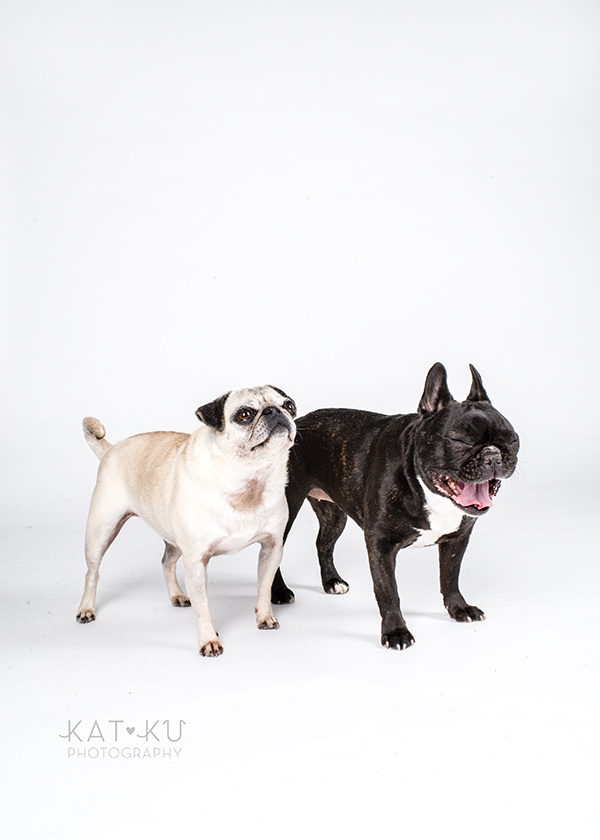 Kat Ku Photography - Cosmo Rah Frenchie Pug_15