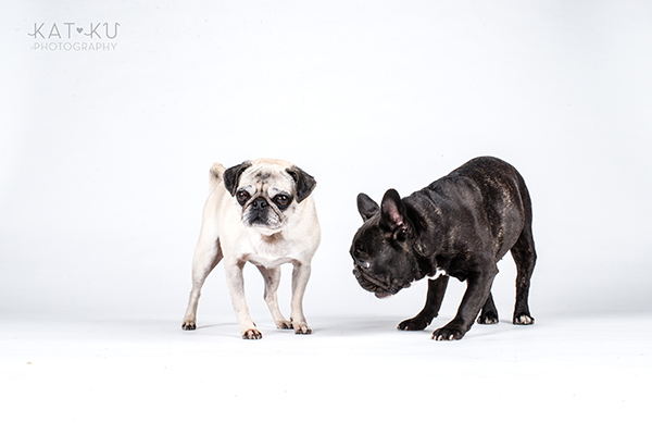 Kat Ku Photography - Cosmo Rah Frenchie Pug_17