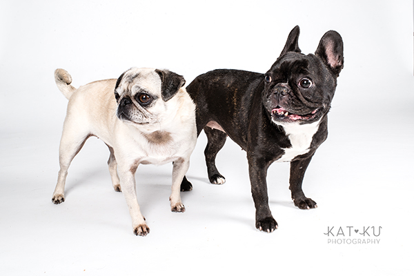 Kat Ku Photography - Cosmo Rah Frenchie Pug_18