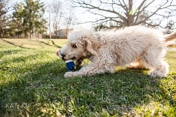 Kat Ku Pet Photography - Minnie Goldendoodle_08